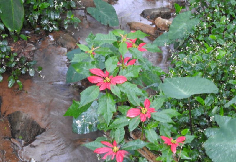 Plant of the Day: Poinsettia