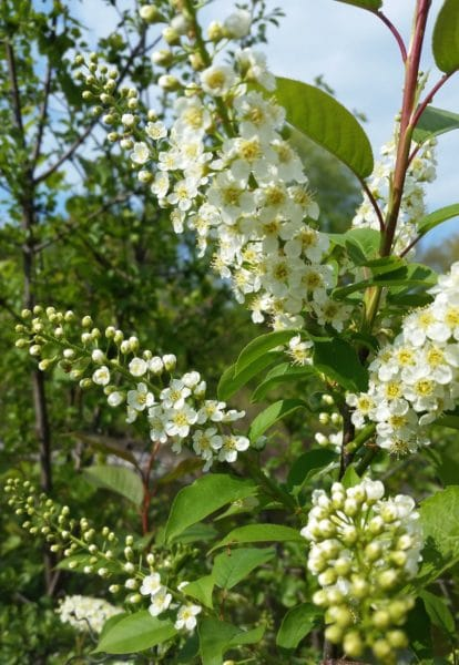 wild cherries with a raceme of small white blossoms