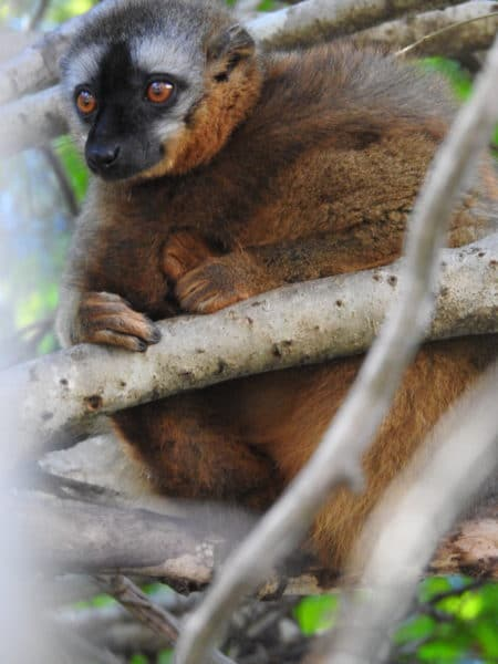 female red-fronted lemur with tail wrapped around herself