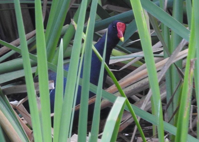 Madagascar Bird of the Day: Common Moorhen