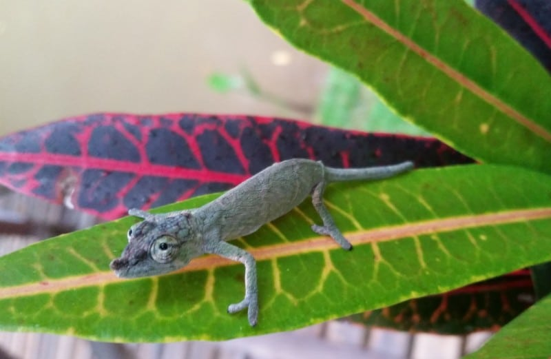 Reptile of the Day: Horn-Nosed Chameleon