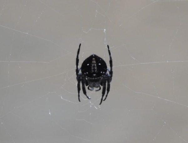 spotted bark spider in madagascar