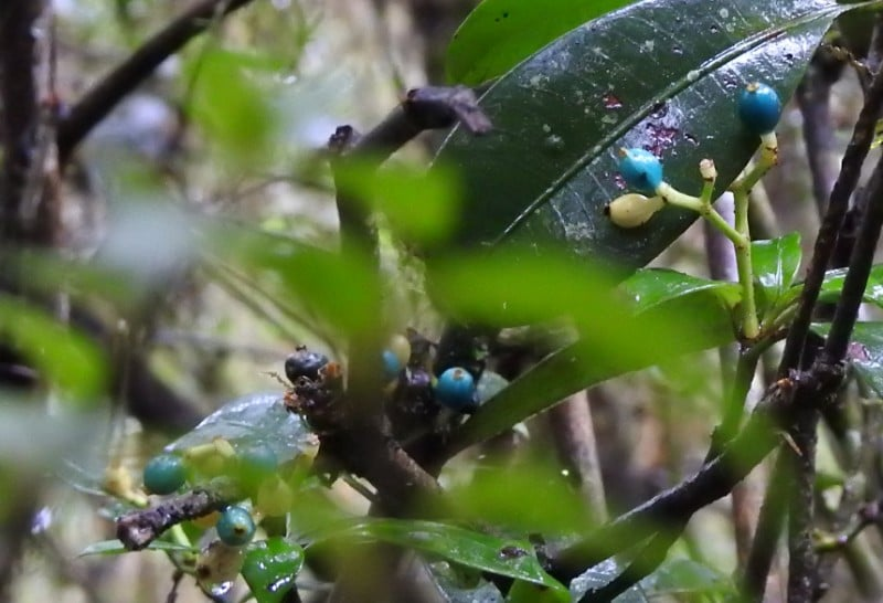 Plant of the Day: Wild Coffee