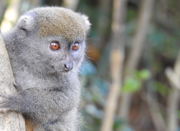 Eastern Lesser Bamboo lemur