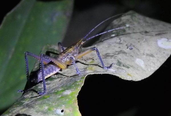 grasshopper with yellow body and blue-purple legs and antennae