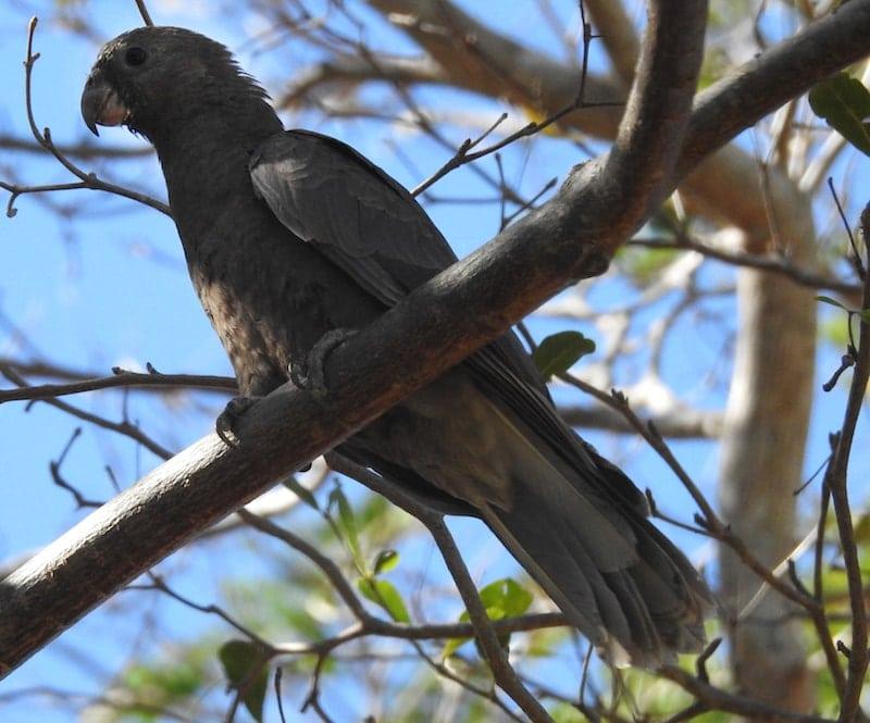 Madagascar Bird of the Day: Lesser Vasa Parrot