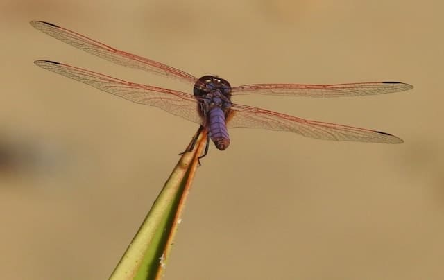 Madagascar Invertebrate of the Day: Purple Dragonfly