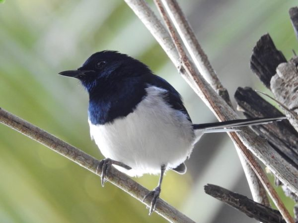 black-and-white male Madagascar Magpie-robin (Copsychus albospecularis) perches on a tree branch. The head, beak and wings are black while the belly is white, and the tail is striped.