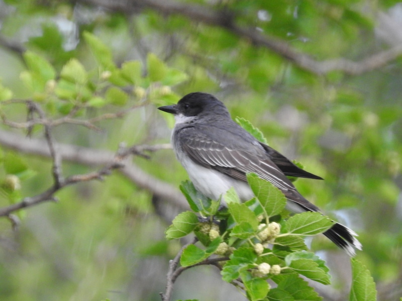Bird of the Day: Eastern Kingbird (Tyrannus tyrannus)
