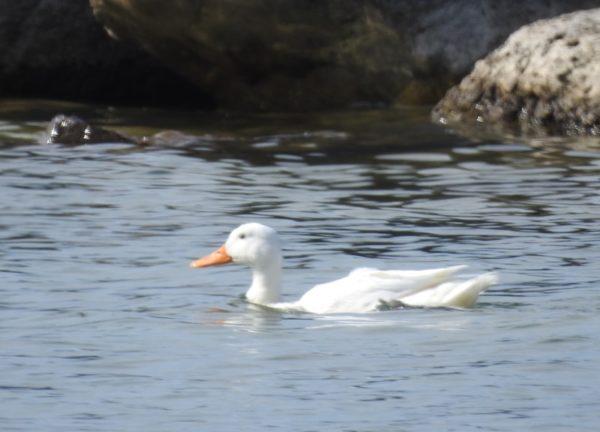 white duck swimming near rocks