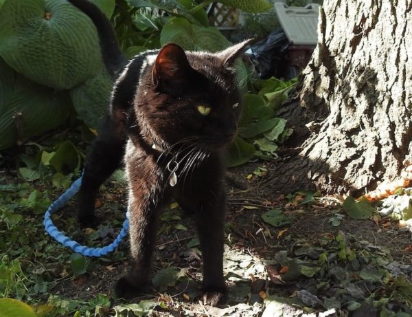 Lilo the black cat standing by a hosta and tree
