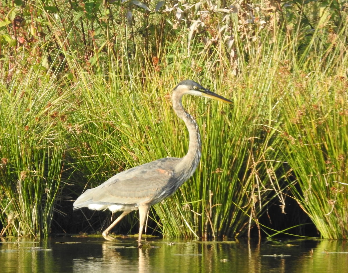 great blue heron on pond edge