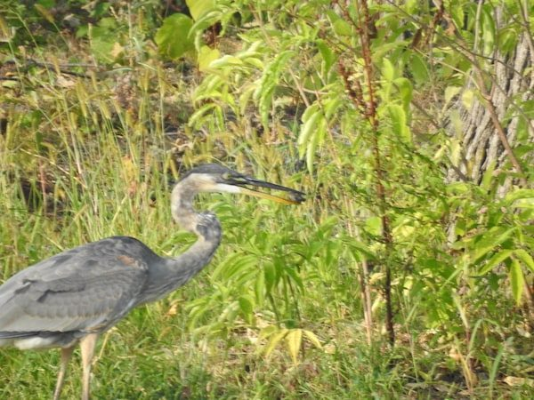 great blue heron on pond edge, with brown object in beak