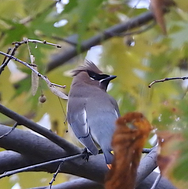 Bird of the Day: Cedar Waxwing (Bombycilla cedrorum)