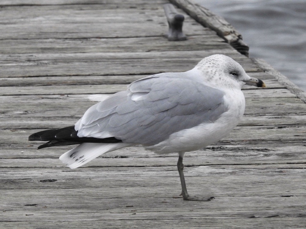 Bird of the day: Ring-billed gull (Larus delawarensis)