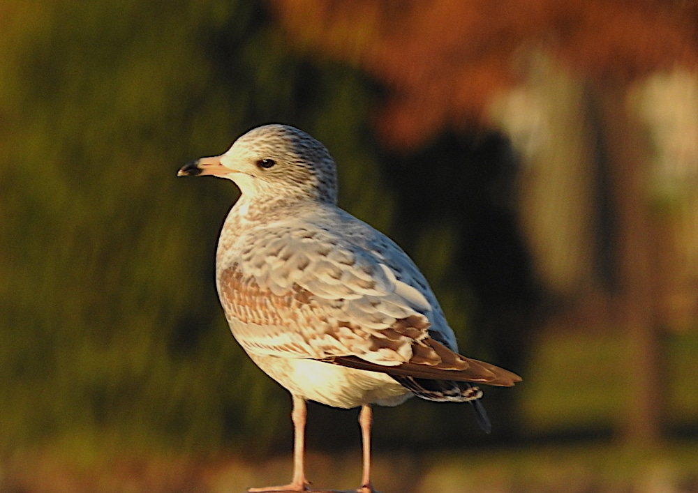 Bird of the day: Juvenile ring-billed gull (Larus delawarensis)