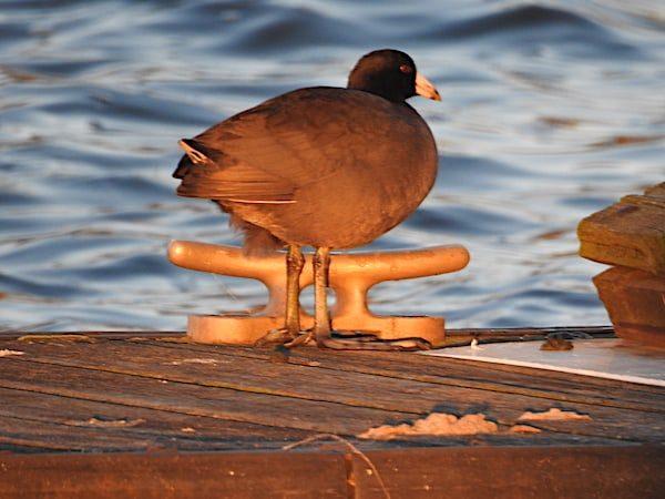 American coot standing on boardwalk