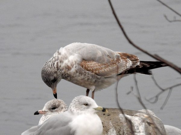 Young, First-year ring-billed gull with brown mottled plumage on underside and gray upper wings. It is standing on stone on lakeshore