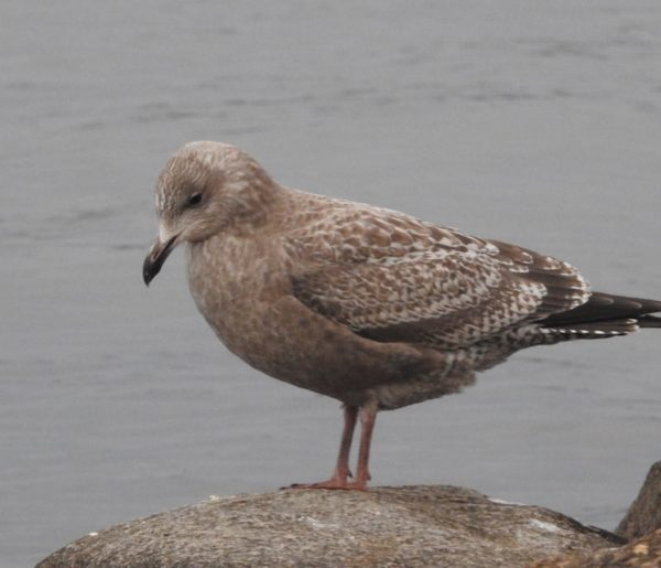 Youg, First-year ring-billed gull standing on stone on lakeshore