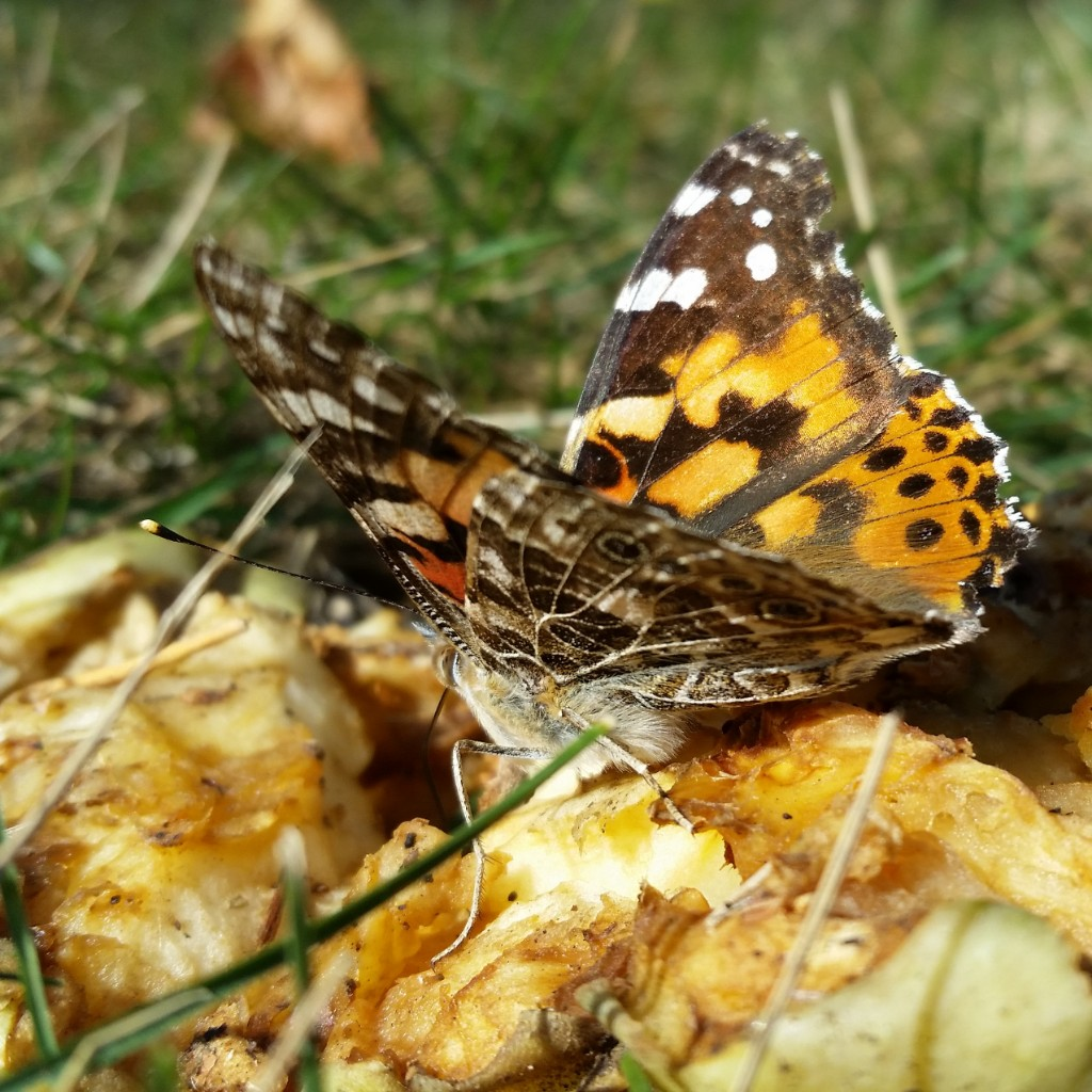 Insect of the day: Painted lady butterfly (Cynthia cardui or Vanessa cardui)