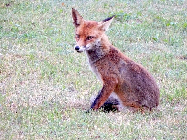 red fox (vulpus vulpus) sitting on lawn