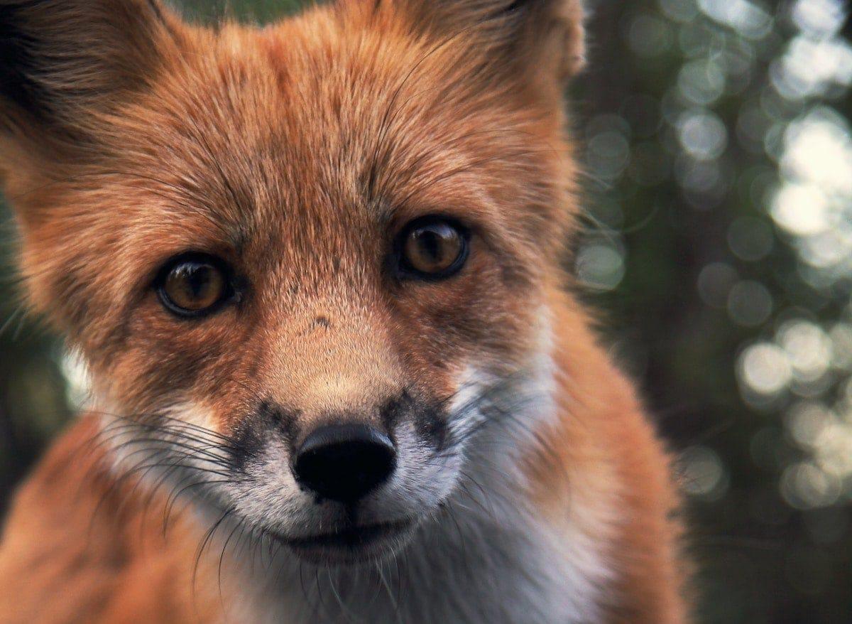 red fox (vulpus vulpus) looking at camera